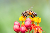 Honeybee and Butterfly Weed Flower